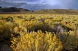 Desert Rabbitbush