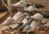 Crocodile heads in the voodoo fetish market in Lomé.