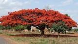 Flamboyant or flame tree.