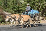 Traditional ox cart.