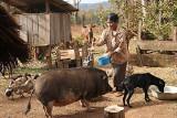 At a Phnong farm. The pig gets a shower. Pu Lang Village I, Mondulkiri, Cambodia