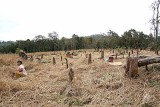 Shifting cultivation. Paddy field where trees have been cut before. Phnong village Pu Lang II, Mondulkiri, Cambodia