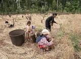 Rice harvesting in Pu Lang Village II, Mondulkiri, Cambodia