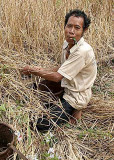 Phnong man harvesting rice. Pu Lang Village II, Mondulkiri, Cambodia