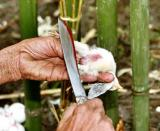 Myoko. Sacrifice of chicken. Apatani tribe