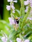 Bumblebee, hard at work