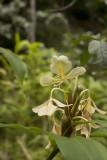 The fragrant Butterfly Ginger flower