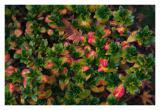 Azalea with its fall colors