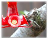 Hummingbird visits the feeder