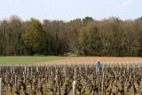 Les vignes à l'orée du bois