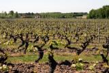 La vigne renaît