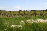 La vigne verdit