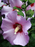 Hibiscus syriacus ou Althea mauve