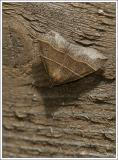 maple looper moth (Parallelia bistriaris)