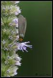 Virginia Ctenuchid (Ctenucha virginica)