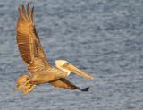 Brown Pelican Banking Left