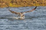 Osprey with Shark