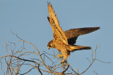 Peregrine Falcon - Late Afternoon Light