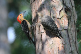 Red-bellied Woodpecker with Juvenile
