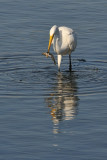 Great Egret with Snack