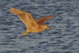 Black-crowned Night Heron - Juvenile