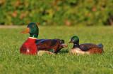 Wood Ducks :-)