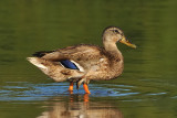 Ms. Blue-winged Teal