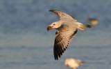 Ring-billed Gull - 1st Winter
