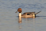 Northern Pintail ~ Male