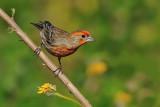 House Finch ~ Male