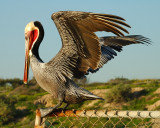 Brown Pelican Drying in the Sun