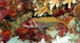 another squirrelfish.jpg