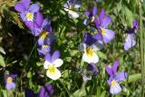 Wild Pansies (Viola tricolor)
