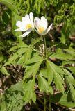 Snowdrop Windflower (Anemone sylvestris)