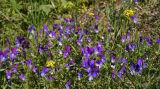 Wild Pansies (Viola tricolor)Stemorsblomst