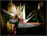 Bird of Paradise Flowers & Leaves