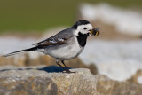 White Wagtail with insects