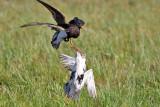 Ruff males fighting