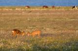 Roe Deer fighting