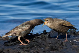 Common Starling feeding juvenile