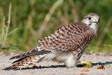 Falco tinnunculus Common Kestrel with a cricket