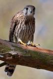 Falco tinnunculus Common Kestrel