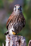 Falco tinnunculus Common Kestrel with aViviparous lizard