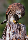 Falco tinnunculus Common Kestrel eating a Viviparous lizard