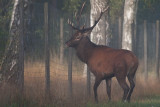 Wild Red deer bull in misty weather, fence against the wild animals that eat plants