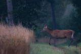 Young Wild Red deer bull