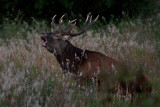 Wild Red deer bull roaming in a ditch