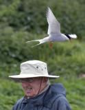 tern attack2.jpg