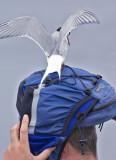 tern attackk1.jpg