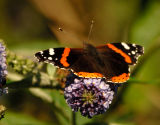 red_admiral